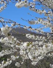 La randonnée blanche dans les cerisiers en fleur - ANNULÉE