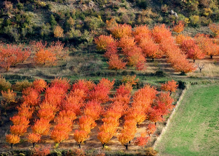 Cerisiers automne.jpg